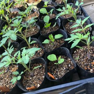 [連載] ミニトマトのソバージュ栽培 6、若苗だけど植えます