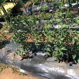 [連載] ミニトマトのソバージュ栽培 8、第一果が付きました