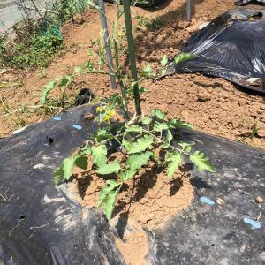 [連載] ミニトマトのソバージュ栽培 9、生育不良?