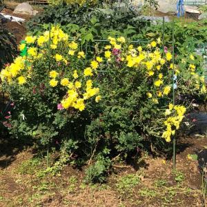 [連載] 食用菊を育ててみます 6、赤紫が咲く