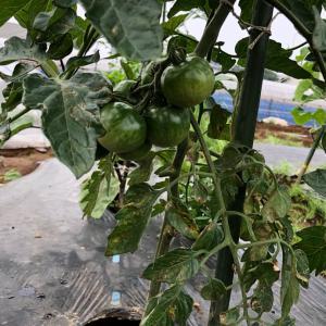 [連載] 大玉トマトは甘くない 3、脇芽を欠く