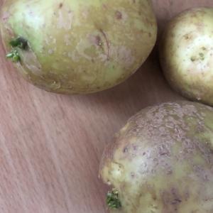 [連載] ジャガイモ、取り置きを種芋に 2、コンテナ栽培