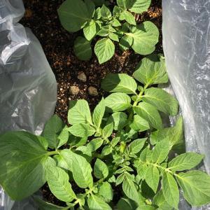 [連載] ジャガイモ、取り置きを種芋に 4、コンテナに土増し