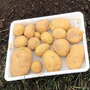 [連載] ジャガイモ、取り置きを種芋に 6、秋じゃが開始