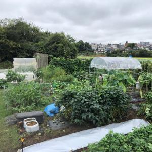 [連載] ジャガイモ、取り置きを種芋に 7、芽出し