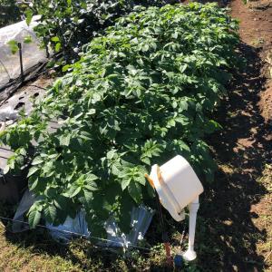 [連載] ジャガイモ、取り置きを種芋に 8、種イモの検疫
