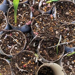 [連載] 秋トウモロコシは台風が怖い 4、畑に植える