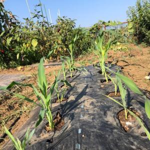 [連載] 秋トウモロコシは台風が怖い 5、追肥は多め