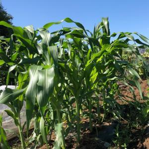 [連載] 秋トウモロコシは台風が怖い 7、台風対策