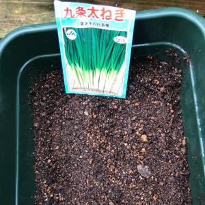 [連載] 九条太ネギの無限栽培 3、種はすじ蒔き