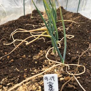 [連載] 九条太ネギの無限栽培 10、春が来る