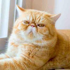 ブサカワ猫エキゾチックショートヘアが可愛すぎる