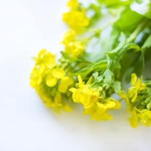 【菜の花レシピ特集】 食卓に春がやってきた!
