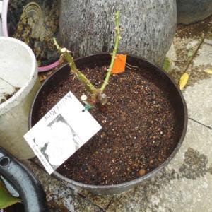 バラの苗植えました