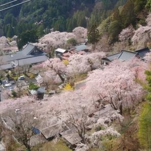 身延山久遠寺🌸しだれ桜