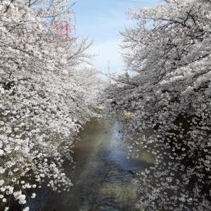 恩田川周辺でお花見🌸
