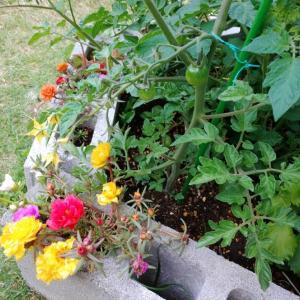 手造り簡単ミニ家庭菜園&バラ🌹他・・。