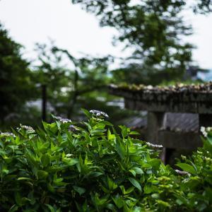 桃太郎伝説の吉備津神社で紫陽花を撮ってきた FA77mmF1.8Limited