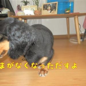 9才シニア犬が挑んだ、去勢手術&歯石除去の術後は?