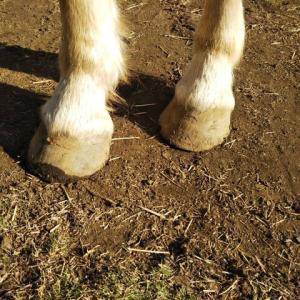 削蹄されてない馬の蹄