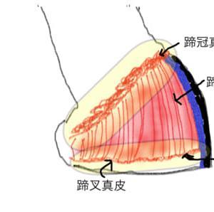蹄の管理ー蹄はどこから生えているのか?