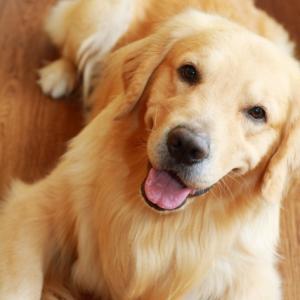 ゴールデンレトリバーの子犬のしつけ!家に来た日がスタート!