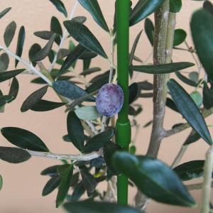 オリーブの実が紫色に