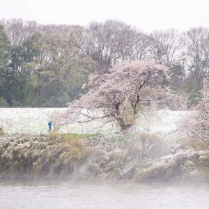 【4月に関東で雪】雪と桜の写真を撮影