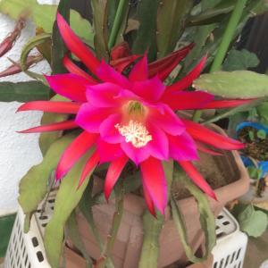 サボテンの花⁉️