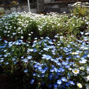 春満開の猫の額(庭)