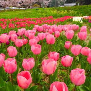 魔界滋賀 春の花絵巻