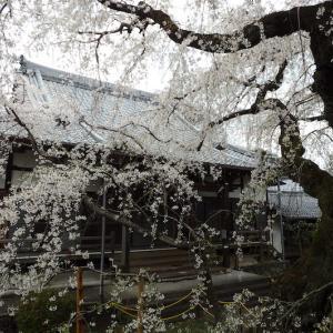 専通寺の枝垂れ桜 〜 海津郡南濃町