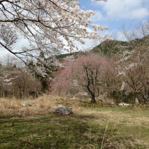 魔界滋賀 旧大萩村の桜