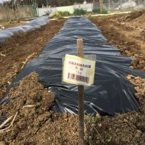 ジャガイモを植え付けた