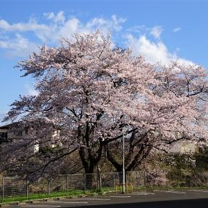仙台は桜が満開(2020年)