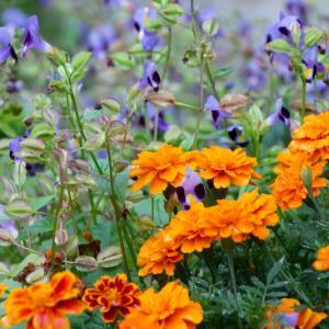 庭の花 その1 マリーゴールドとトレニアの饗宴