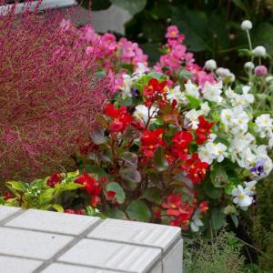 庭の花 その3 センニチコウ、ベゴニア、ランタン、ホトトギス、コキア