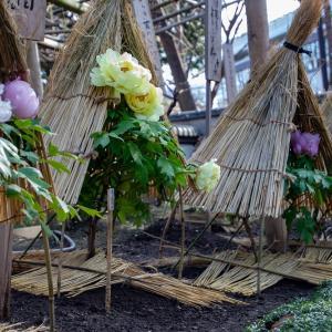 上野東照宮のぼたん苑の冬牡丹 その2