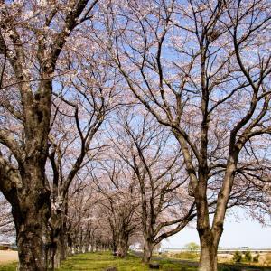 宇都宮・鬼怒川の桜堤の桜とヒヨドリ