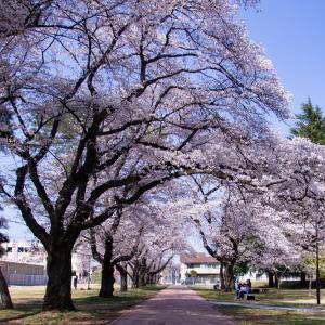 宇都宮大学構内の満開の桜