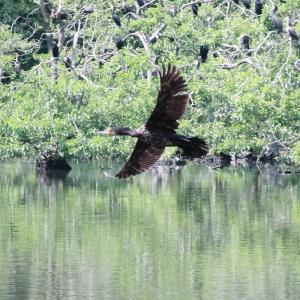 井頭公園の川鵜の飛翔