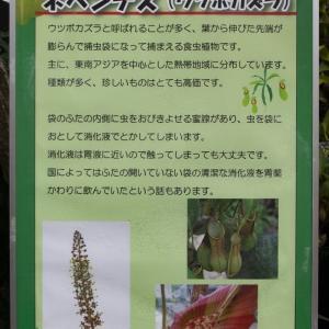 とちぎ路散策 その5 とちぎ花センターの「食虫植物展」②