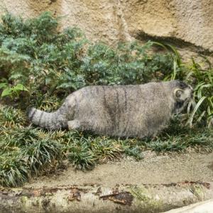 とちぎ路散策 その13 那須どうぶつ王国 ⑤世界最古のネコ、マヌルネコ