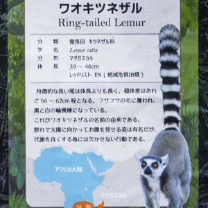 とちぎ路散策 その27 那須どうぶつ王国 ⑬WETLANDの絶滅危惧種のワオキツネザル
