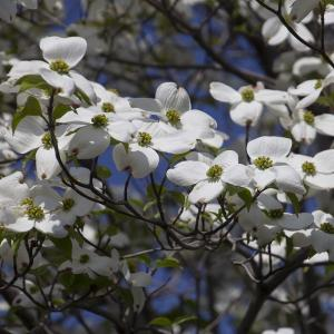 宇都宮の街路樹の満開のハナミズキ(白)