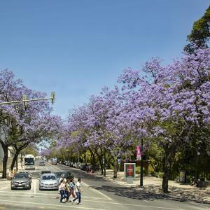 ポルトガルの旅 その71 リスボンの満開のジャカランダの花の街路樹