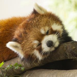 那須どうぶつ王国の寝顔が可愛いレッサーパンダ