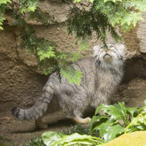那須どうぶつ王国の世界最古の猫・マヌルネコ