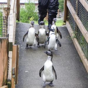 那須どうぶつ王国のペンギンビレッジのケープペンギン観察