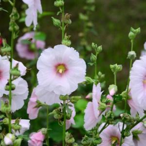梅雨に咲く立葵